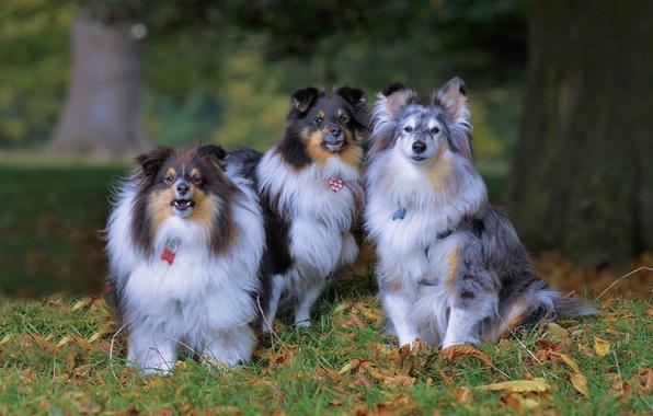 Картинка осень, собаки, трио, троица, шелти, шетлендская овчарка