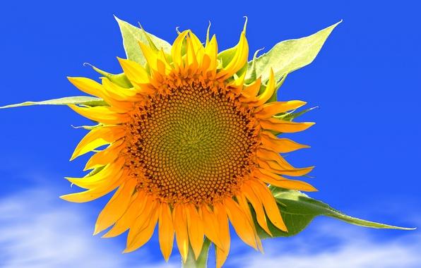 Картинка цветок, небо, листья, облака, природа, подсолнух, лепестки