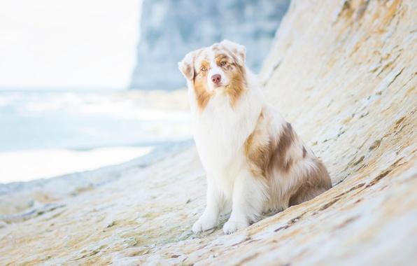 Картинка взгляд, собака, Австралийская овчарка, Аусси