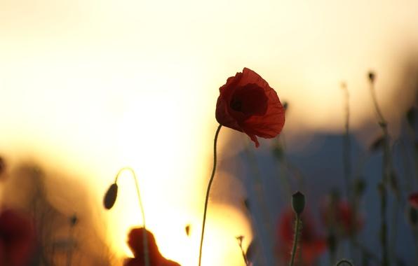 Картинка поле, небо, солнце, макро, закат, цветы, мак, маки, силуэты