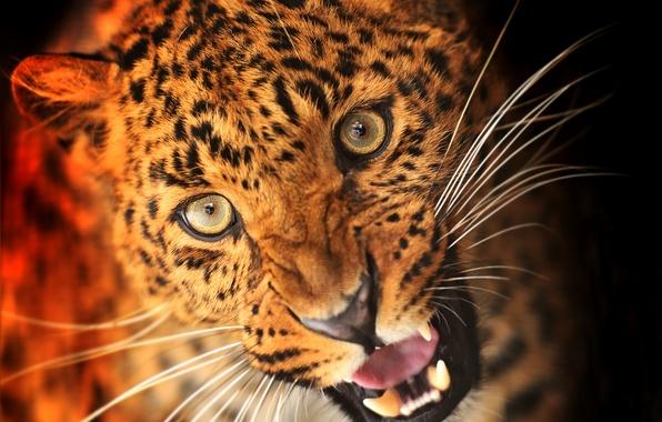 Картинка взгляд, морда, животное, хищник, леопард, клыки, черный фон, масть