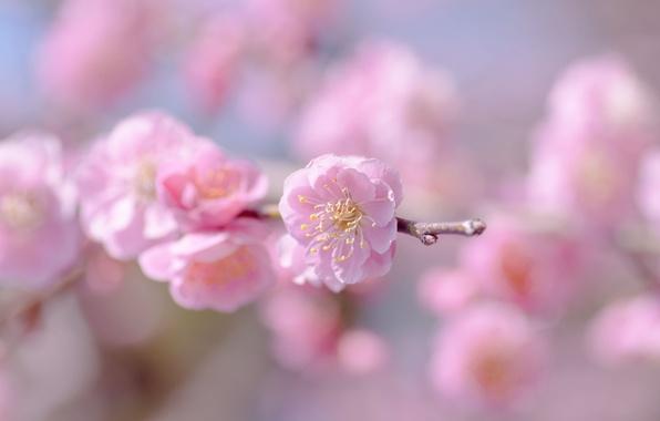 Картинка цветок, небо, макро, цветы, веточка, розовый, нежность, фокус, весна, размытость, сакура, цветение