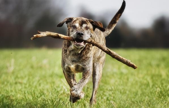 Картинка друг, собака, бег, итальянский мастиф