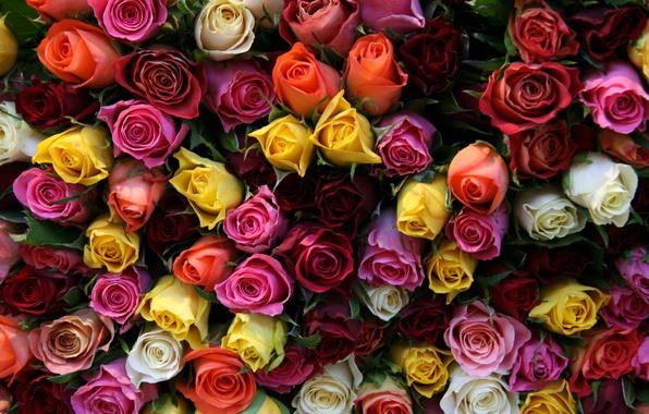 Картинка цветок, цветы, розы, букет, бутоны, красивые, миллион роз