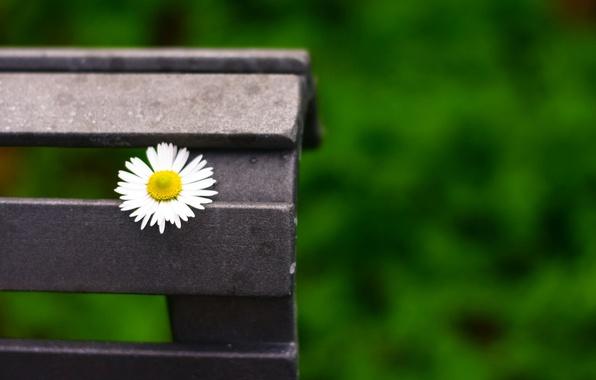 Картинка цветок, макро, цветы, скамейка, зеленый, фон, widescreen, обои, размытие, ромашка, лавочка, лавка, wallpaper, скамья, широкоформатные, …