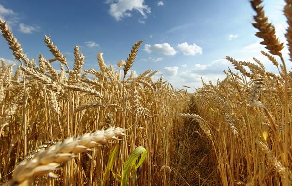 Фото обои поле, солнце, Лето, колоски, посевы