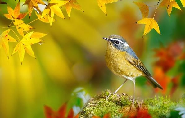 Картинка осень, листья, макро, ветки, птица, мох, желтые, Тайвань, боке, FuYi Chen, White-browed Bush-Robin, Tarsiger indicus