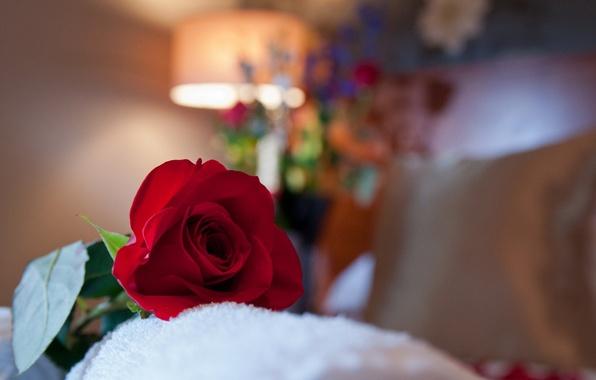 Картинка макро, комната, роза