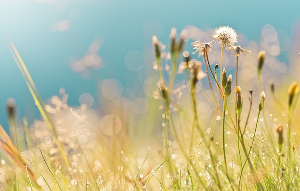 Картинка поле, лето, трава, капли, роса, блики, утро, одуванчики