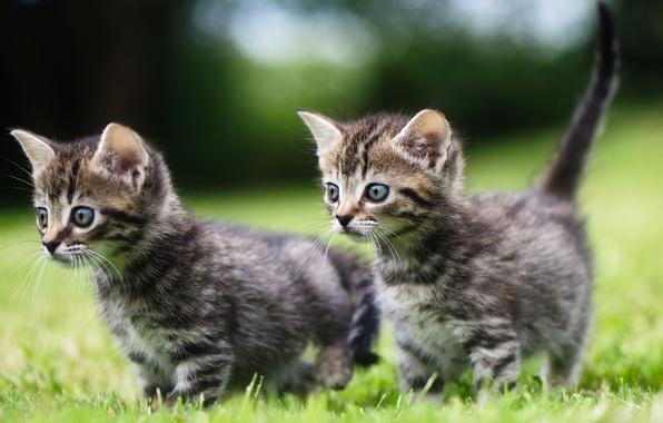 Картинка котята, прогулка, малыши, парочка, двойняшки