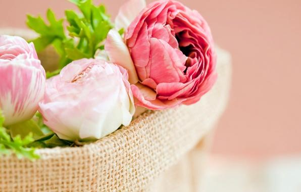 Картинка листья, цветы, лепестки, розовые, белые, мешок, бутоны, пионы
