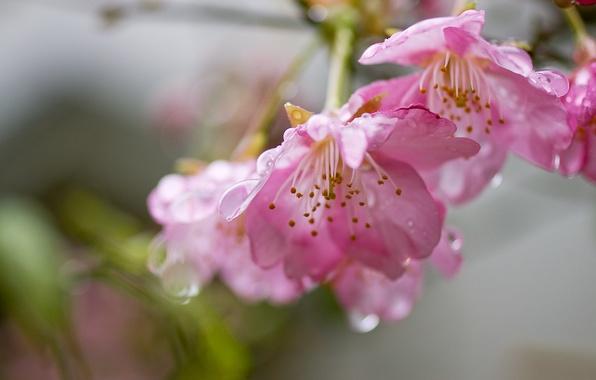 Картинка вода, капли, цветы, свежесть, вишня, нежность, ветка, весна, лепестки, сакура, розовые, цветение