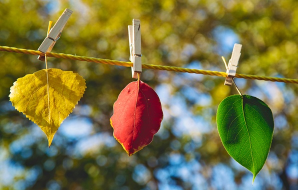 Картинка осень, листья, макро, желтый, природа, лист, зеленый, размытость, прищепки, бордовый