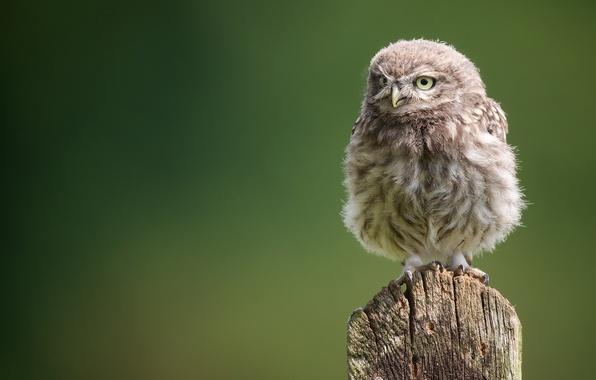 Картинка сова, птенец, совёнок, сыч