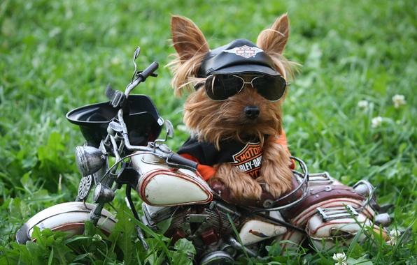 Картинка трава, собака, юмор, очки, футболка, мотоцикл, кепка, Harley-Davidson, йоркширский терьер, солнцезащитные очки, мотоциклетный шлем