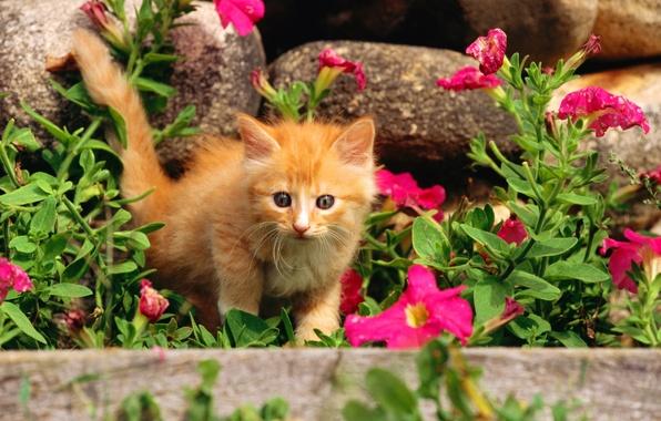 Картинка кошка, трава, кот, цветы, камни, котенок, киска, рыжий, киса, cat, котэ