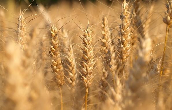 Картинка поле, природа, landscapes, fields, macro, макро фото пшеницы, nature walls