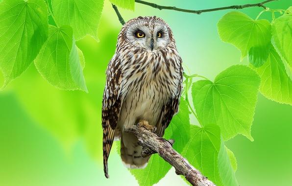 Картинка листья, природа, сова, птица, ветка