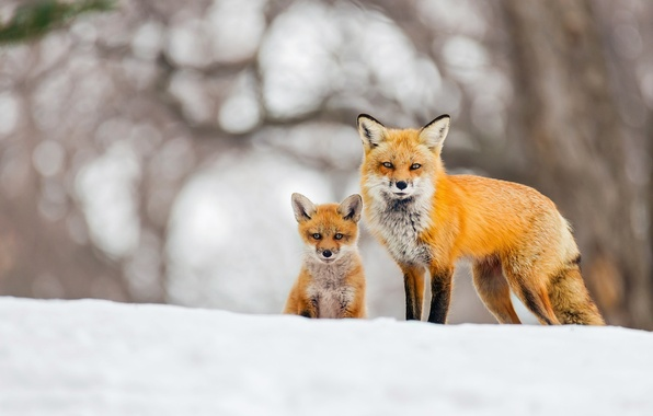 Картинка зима, снег, фон, лиса, лисы, боке, лисёнок