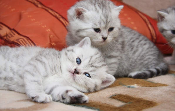 Картинка кошки, мило, котята