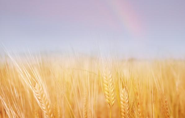 Картинка пшеница, поле, лето, природа, золотая