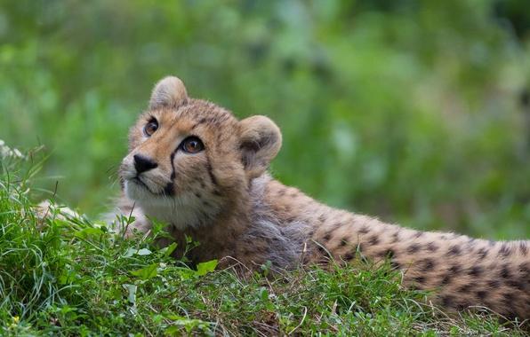 Картинка трава, взгляд, хищник, гепард, дикая кошка