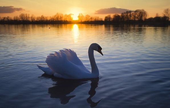 Картинка солнце, озеро, птица, романтика, лебедь