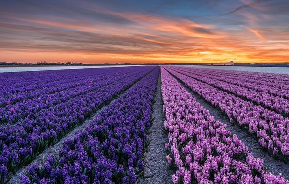 Картинка поле, закат, цветы, вечер, городок, Нидерланды, провинция, Северная Голландия, Callantsoog