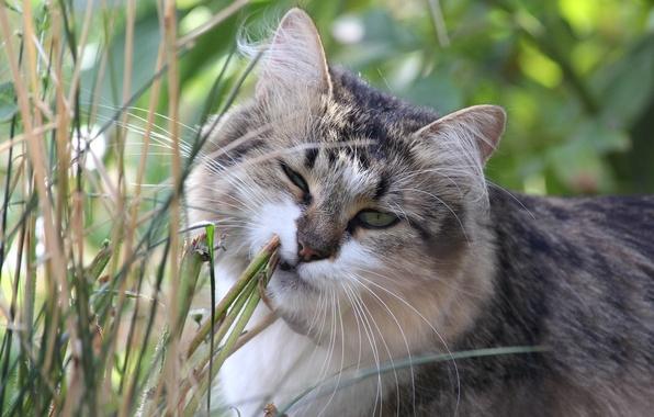 Фото обои кошка, трава, морда, кот