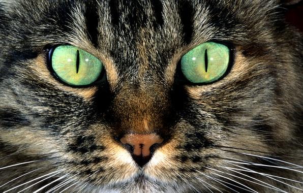 Картинка кошка, глаза, кот, усы, морда, шерсть, нос, зеленые, полосатый, пятно окрас