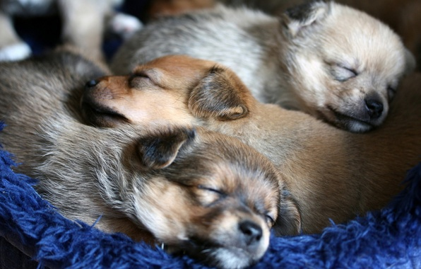 Картинка собаки, уют, щенки