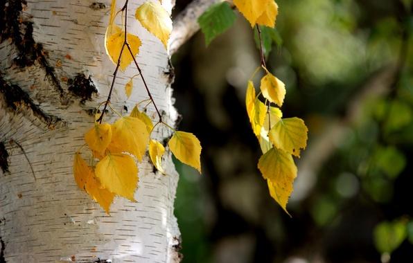 Картинка осень, листья, природа, берёза