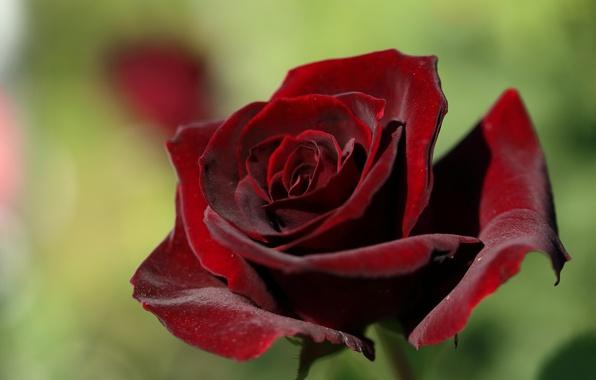 Картинка макро, роза, лепестки, бутон, бархатная