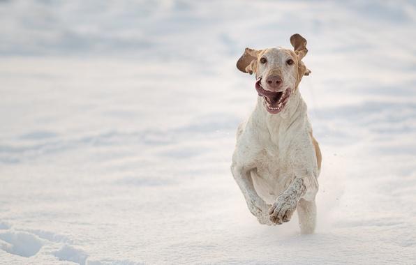 Фото обои собака, снег, зима