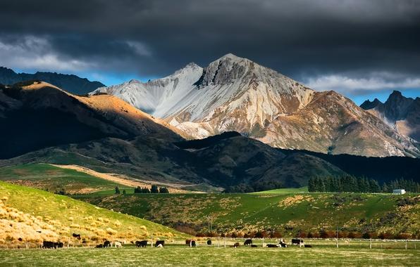 Картинка небо, горы, тучи, коровы, пастбище, новая зеландия, скот, стадо, new Zealand