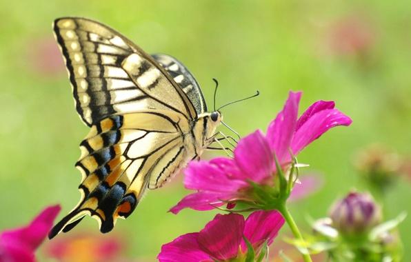 Картинка цветок, макро, розовый, бабочка, красивая, желтая, butterfly, beauty, красочная
