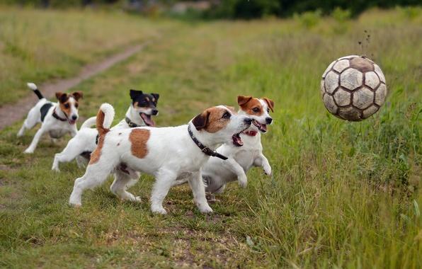 Картинка собаки, футбол, спорт, мяч, друзья