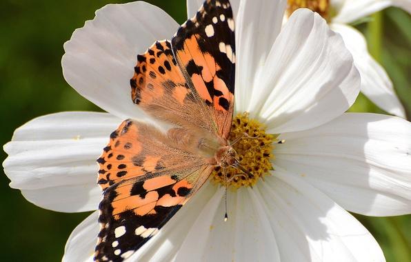 Картинка цветок, макро, бабочка, космея, ванесса чертополоховая, репейница, чертополоховка
