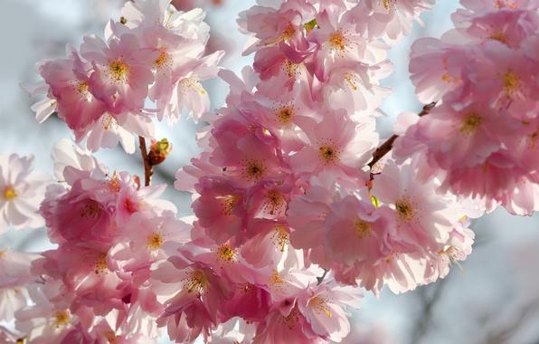 Картинка небо, макро, цветы, ветки, вишня, красота, весна, лепестки, сакура, нежные, розовые, white, белые, бутоны, цветение, ...