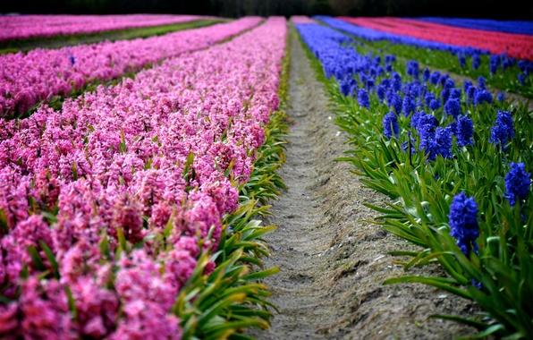 Картинка цветы, весна, фиолетовые, розовые, ряды, плантация, гиацинты