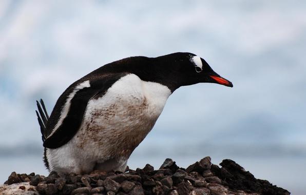 Фото обои вытянул голову, любопытный, пингвин