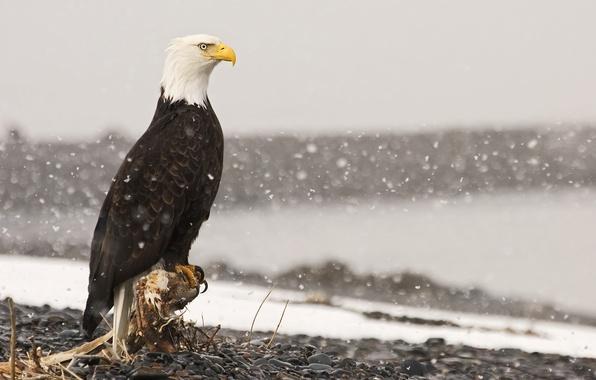 Картинка снег, камни, птица, орел, корень, пень, белоголовый орлан