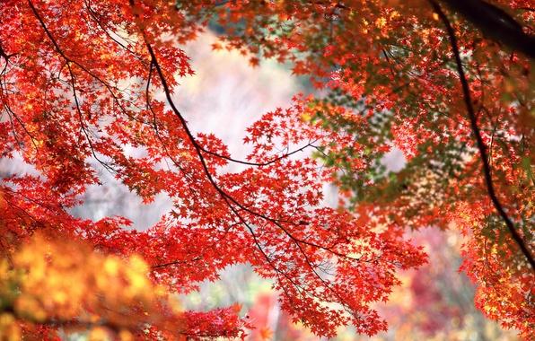 Обои осень, деревья, ветки, красные, оранжевые, кленовые ...: https://www.goodfon.ru/wallpaper/klenovye-listya-krasnye.html