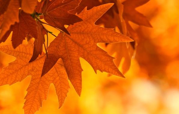 Картинка осень, листья, свет, лист, ветка, клен