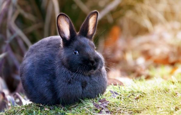 Картинка трава, природа, шерсть, кролик, уши