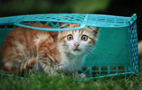 Картинка трава, взгляд, корзина, рыжий, котёнок, голубая, испуганный