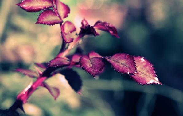 Картинка макро, веточка, роза, Leaves Rose, Xpand
