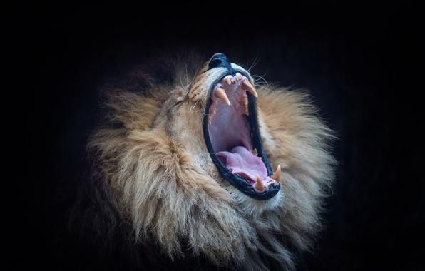 Картинка лев, пасть, зверь