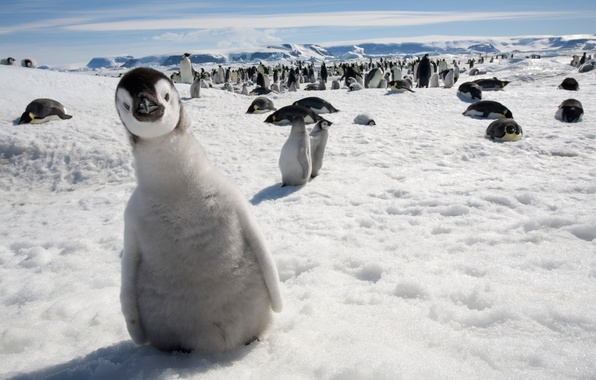 Картинка взгляд, снег, пингвин, любопытство
