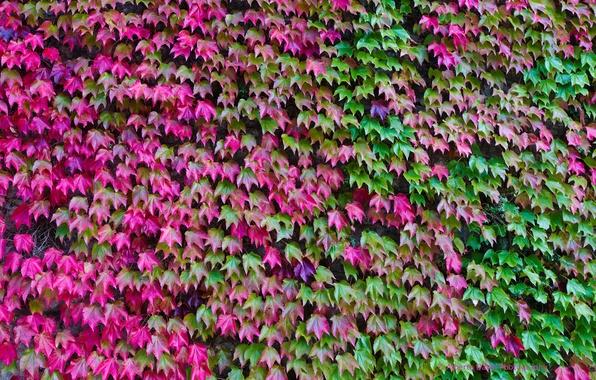 Картинка осень, листья, цвет, плющ